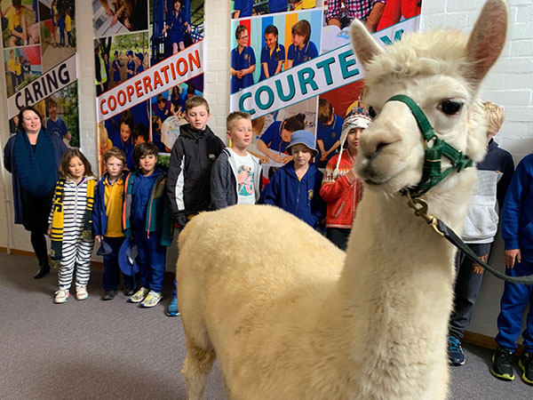 Giralang Primary's supports alpaca charity